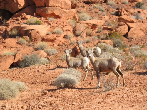 Mountain Sheep in Valley of Fire State Park, Utah